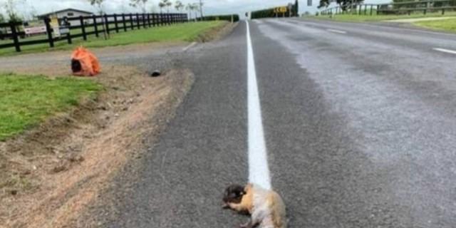 Τραγικό: Χάραξαν νέα γραμμή στον δρόμο περνώντας πάνω από νεκρό ζώο