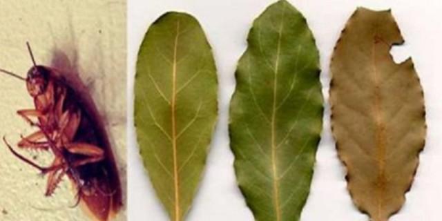 Κατσαρίδες ΤΕΛΟΣ! Τοποθετήστε αυτό το θαυματουργό φυτό σε κάθε γωνία του σπιτιού σας και δεν θα τις ξαναδείτε!