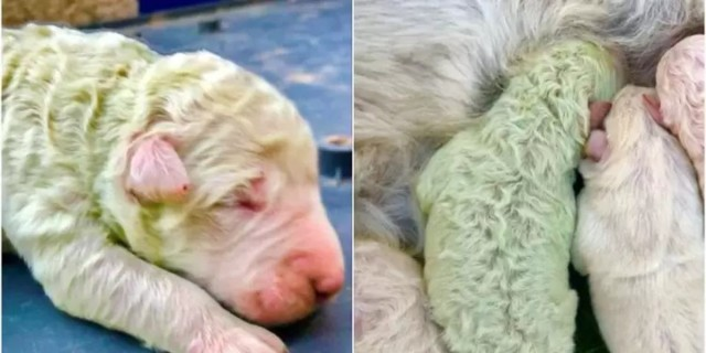 Απίστευτο! Γεννήθηκε κουτάβι με πράσινο τρίχωμα