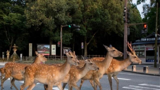 Ιαπωνία: Eλάφια κάνουν βόλτα στους δρόμους της πόλης! (Video)