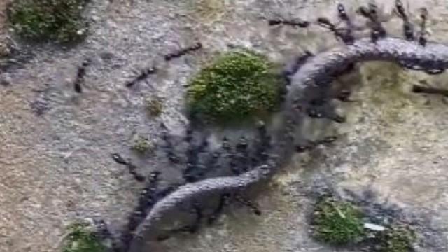 Μυρμήγκια τα έβαλαν με φίδι και κατάφεραν να το σκοτώσουν! (Βίντεο)