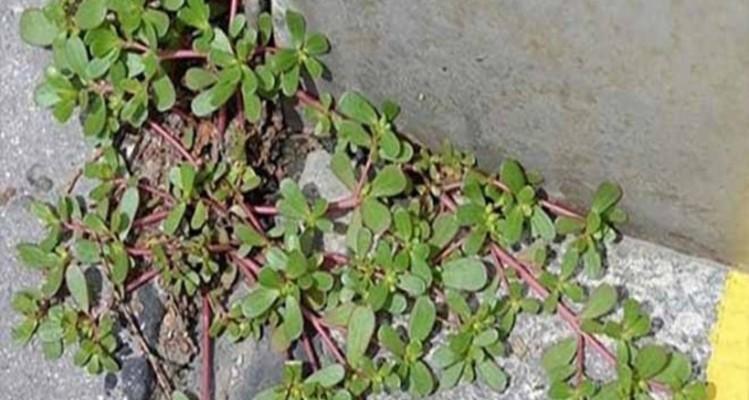 Προσοχή: Αν δείτε αυτό το φυτό στον κήπο σας, μην το βγάλετε! (Video)