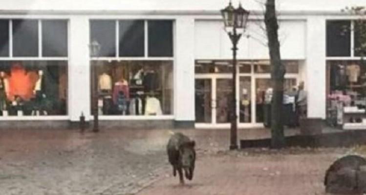 Αυτή και αν είναι εισβολή: Αγριογούρουνα «μπούκαραν» σε κατάστημα! (Video)
