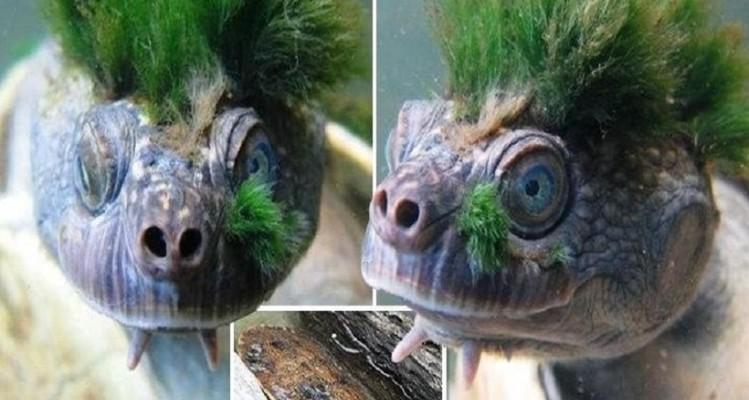 Το σπάνιο είδος χελώνας που κινδυνεύει με εξαφάνιση! (Video)