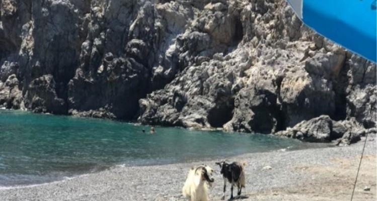 Ο καύσωνας οδήγησε μέχρι και τις... κατσίκες στην παραλία! (video)