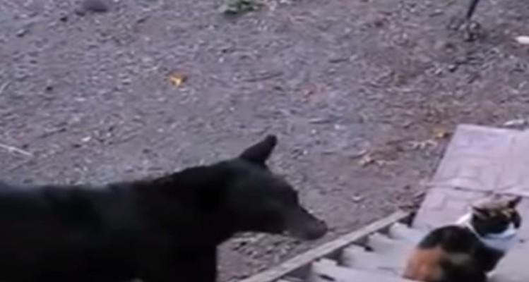 Και όμως μια γάτα μπορεί να τρομάξει μια αρκούδα... (Video)