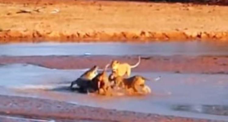Λιοντάρια πετυχαίνουν στην όχθη του ποταμού έναν κροκόδειλο! Η συνέχεια θα σας κόψει το αίμα! (video)