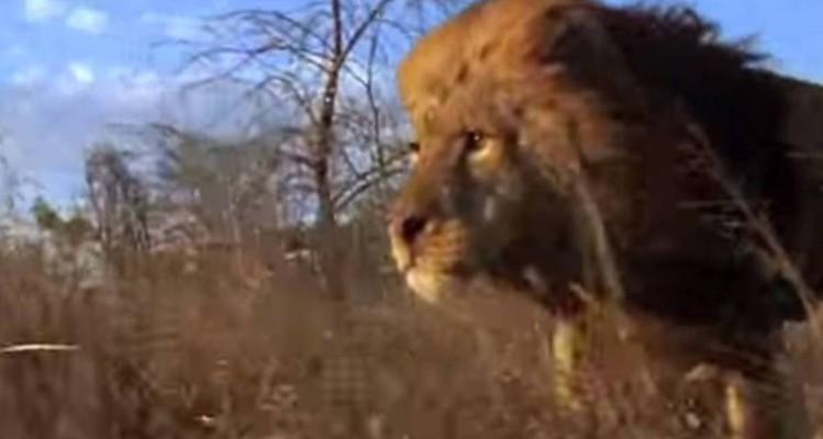 Ανατριχιαστική μάχη λιονταριών για την κυριαρχία - Κόβει την ανάσα