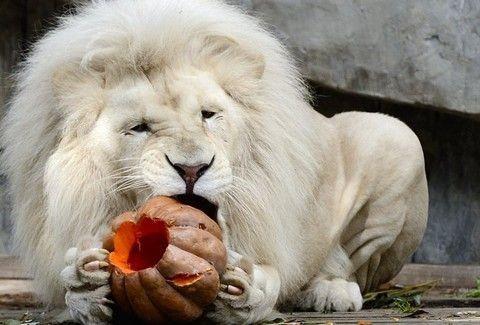 ΑΠΙΣΤΕΥΤΟ! Λιοντάρι τρώει.... κολοκύθα;;;