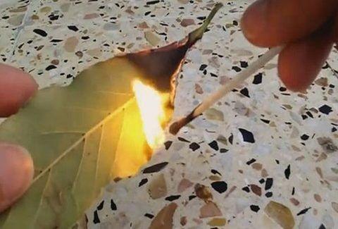 Μεγάλη προσοχή: Κάψτε αμέσως ένα φύλλο δάφνης στο σπίτι σας! Ο λόγος θα σας τρελάνει τελείως...