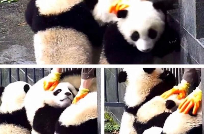 Επικό βίντεο! Η στιγμή που αξιολάτρευτα pandas επιτίθενται στον φύλακα προσπαθώντας να αποδράσουν από το κλουβί τους (photos + video)