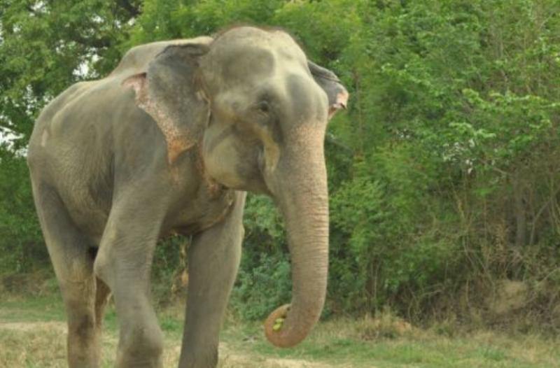 Μεγάλο πέος ελέφαντα