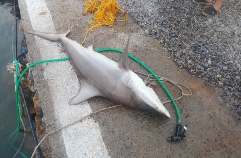 Απίστευτο περιστατικό στην Κρήτη: Έριξαν παραγάδι και έβγαλαν... καρχαρία! (Photo)