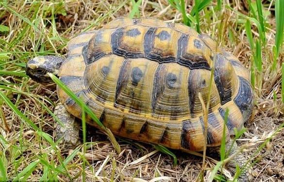 Οι ερευνητές της MEDASSET συμβάλλουν εδώ και δεκαετίες στην προστασία της μεσογειακής θαλάσσιας χελώνας.