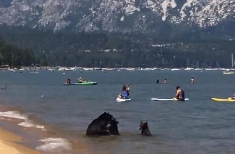 Τρομερό σκηνικό έζησαν οι λουόμενοι: Αρκούδα βούτηξε στην θάλασσα με τα μωρά της! (Video)