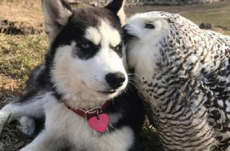 Ένα τρυφερό βίντεο: Ένα χάσκι και μια κουκουβάγια έγιναν αχώριστοι φίλοι!
