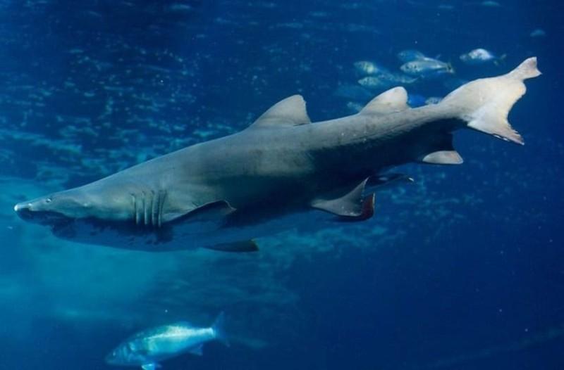 Απίστευτο βίντεο: Καρχαρίας βγήκε στα ρηχά και πλησίασε καγιάκερ!