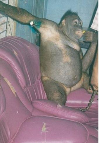 Kτηνωδία: Εξέδιδαν θηλυκό ουρακοτάγκο σε οίκο ανοχής!
