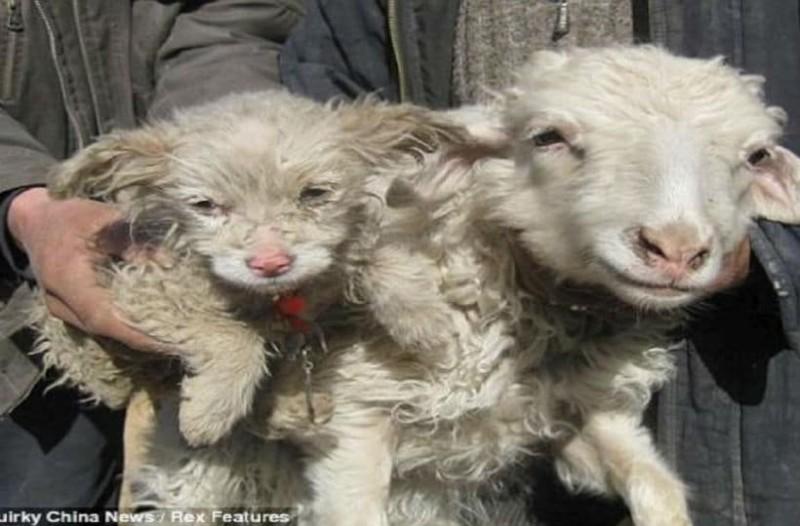Το είδαμε κι αυτό: Ένας βοσκός ισχυρίζεται πως ένα πρόβατο γέννησε σκυλάκι! (photo)