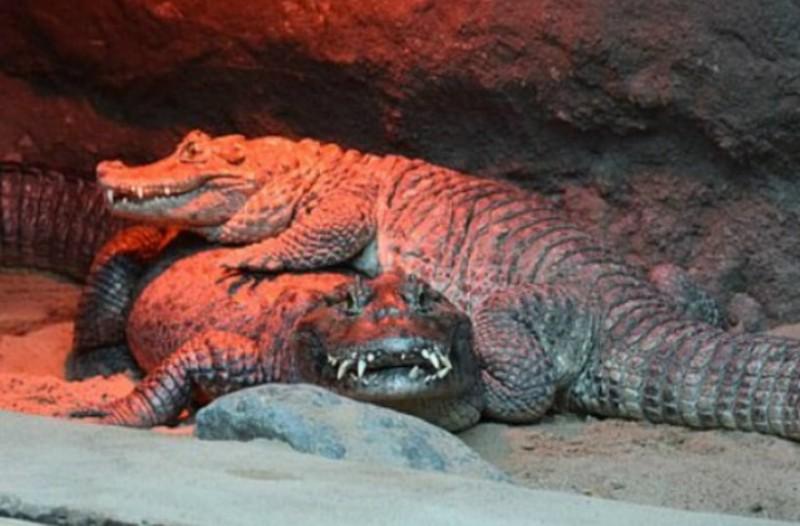 Αρσενικός αλιγάτορας δεν μπορεί να βρει σύντροφο λόγω μεγέθους... γεννητικών οργάνων !