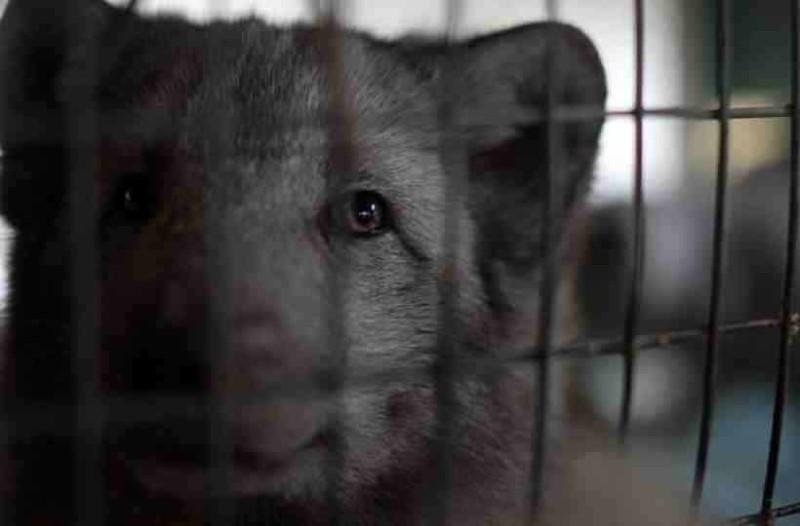 Νορβηγία: Τέλος οι γούνες από ζώα! Kλείνουν και απαγορεύουν τις φάρμες εκτροφής