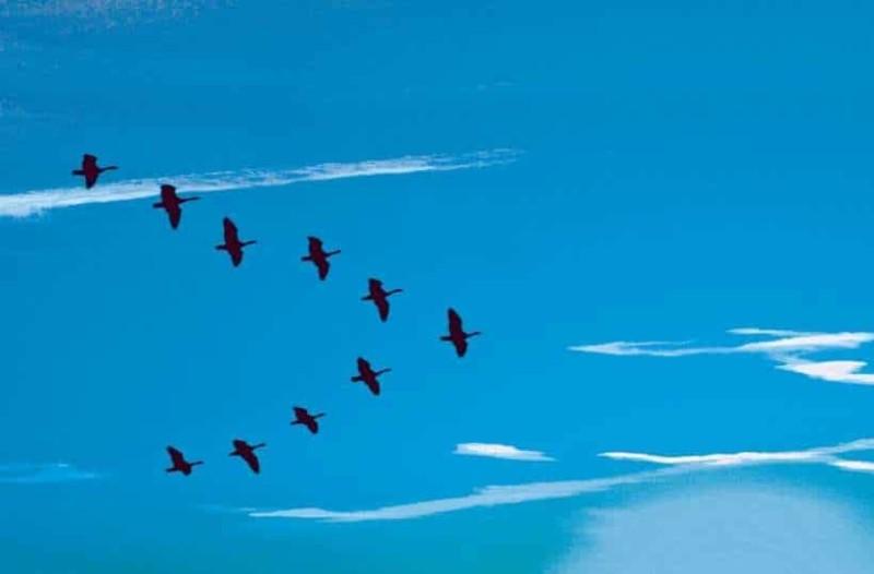 Γιατί τα πουλιά σχηματίζουν το γράμμα V;