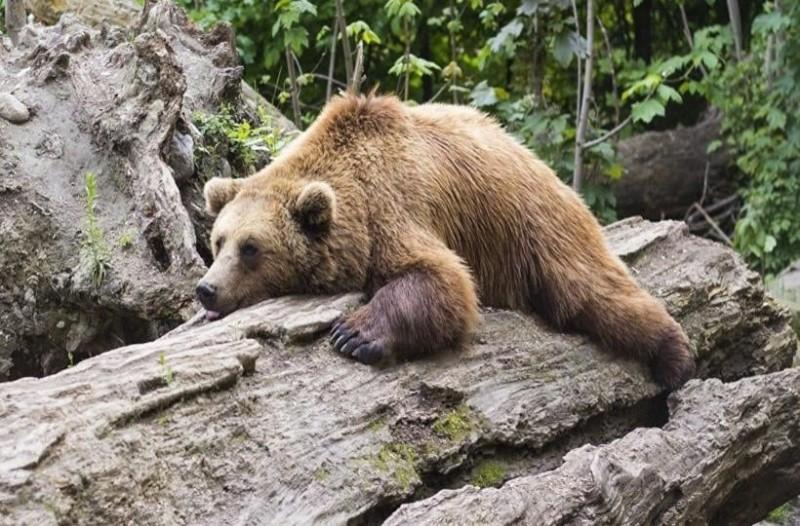 Αρκούδα χορεύει έξαλλα και  μαγέυει τους χρήστες του διαδικτύου!