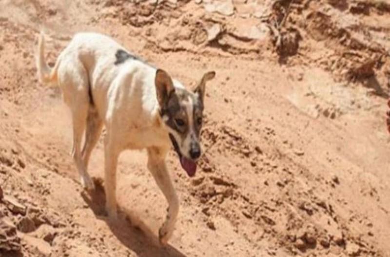 Σκύλος μαραθωνοδρόμος: Ετρεξε 76 χλμ στον Μαραθώνιο της Σαχάρας!
