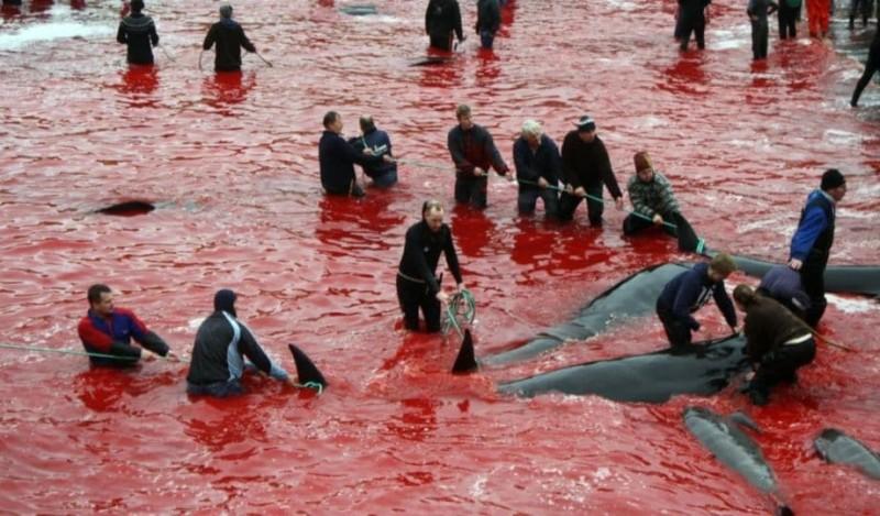 Σφαγή στα Φερόε: Σκότωσαν 250 φάλαινες και δελφίνια!