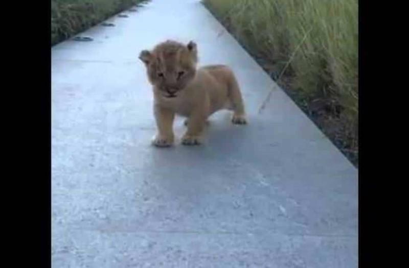 Το λιονταράκι προσπαθεί να βρυχηθεί αλλά τελικά ρίχνει όλο το διαδίκτυο από γλύκα!