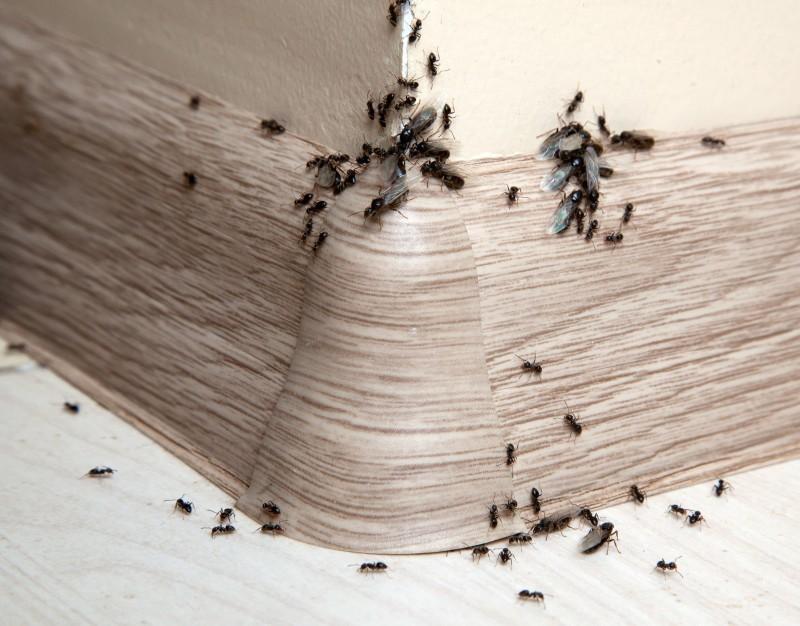 Μυρμήγκια στο σπίτι: