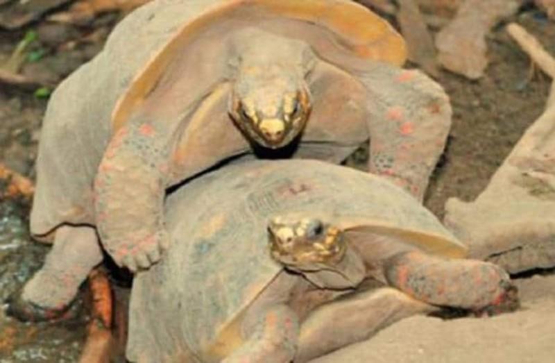 Αυτό συμβαίνει αν διακόψεις δύο χελώνες που συνευρίσκονται! Δείτε τι έπαθε ένας τύπος! (video)