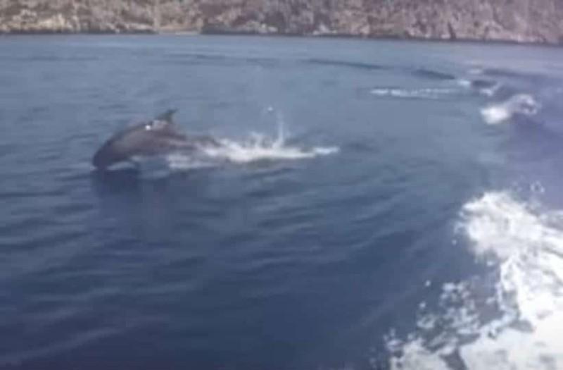 Μοναδική εικόνα: Δελφίνια παίζουν στον Κορινθιακό κόλπο!
