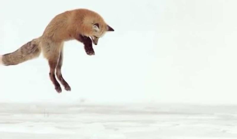 Αλεπού κυνηγάει στο χιόνι και...κολλάει! (Video)