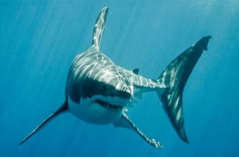 Σοκαριστικό: Από πόσο μακριά μπορεί να εντοπίσει το αίμα ο καρχαρίας;