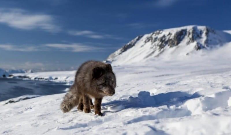 Αλεπού Καναδάς