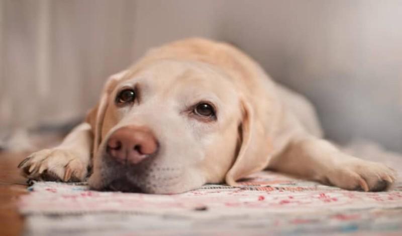 Πώς οι σκύλοι βοηθούν στην μάχη με τον καρκίνο;