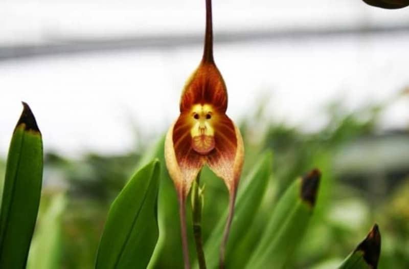 Λουλούδια πρόσωπο μαιμού