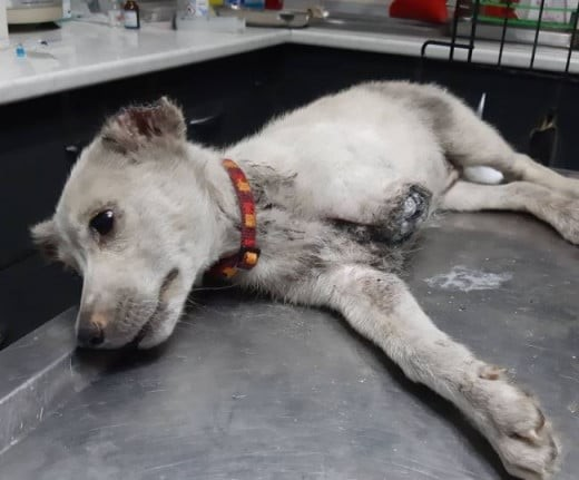 Αδιανόητη κτηνωδία στην Ξάνθη: Ακρωτηρίασαν και βασάνισαν κουτάβι!
