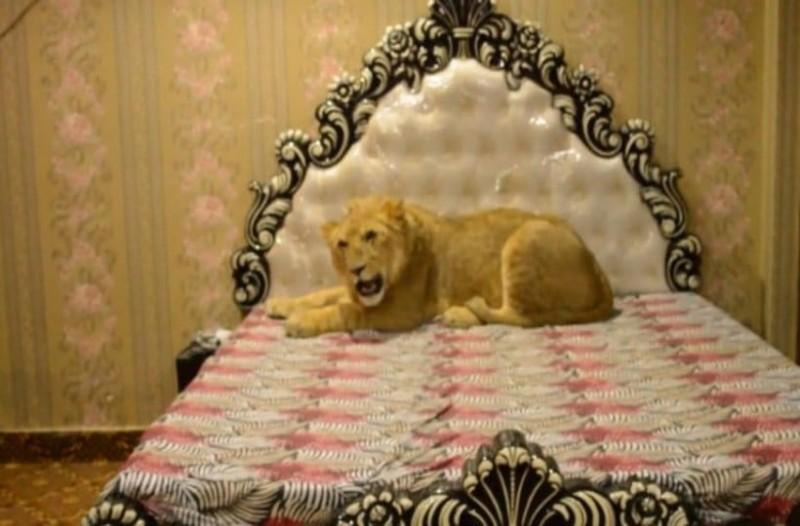Έχει κατοικίδιο… ένα λιοντάρι και το ταΐζει 7 κιλά κρέας κάθε μέρα!