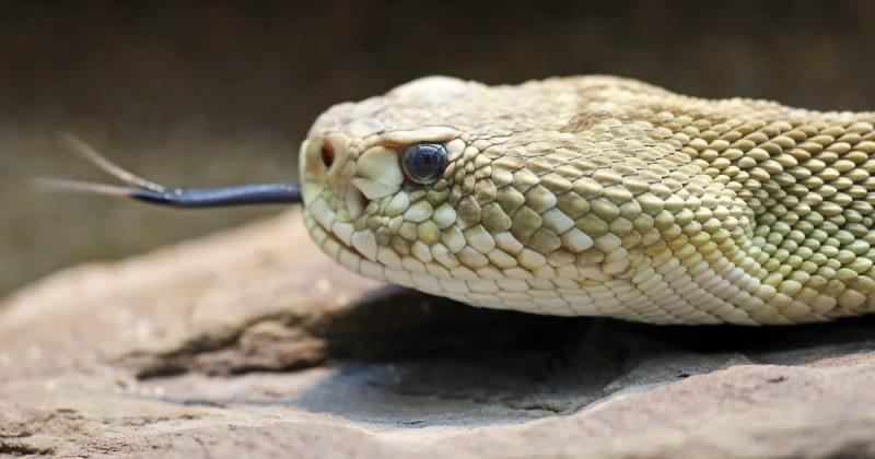 Φίδι ΗΠΑ