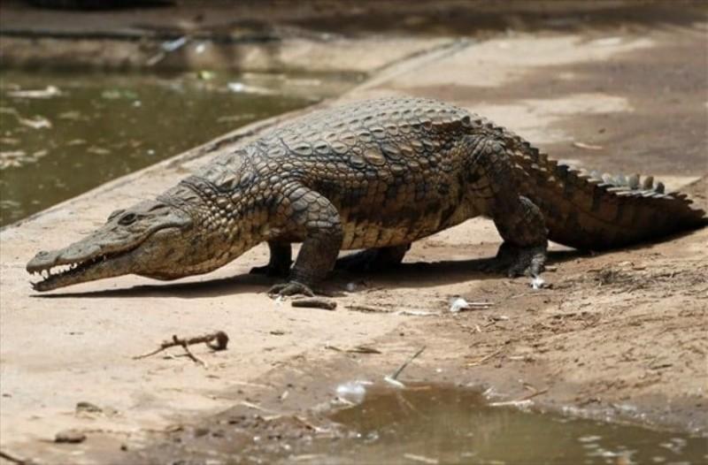 Τι συμβαίνει στην Αυστραλία; Κροκόδειλος βρέθηκε με ορθοπεδική πλάκα στην κοιλιά του!