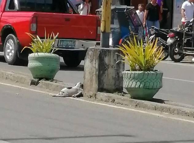 Μαμά σκυλίτσα γαβγίζει σε οδηγούς για να σταματήσουν και να σώσουν το κουτάβι της που το χτύπησε αυτοκίνητο