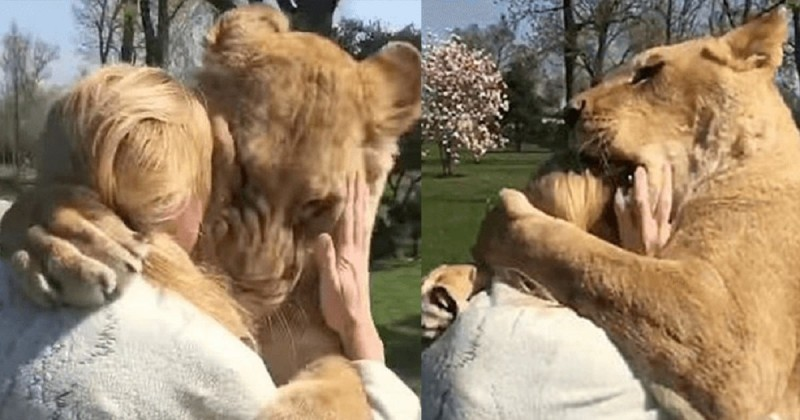 Απίστευτο: Δείτε τι έκαναν λιοντάρια όταν είδαν την γυναίκα που τα μεγάλωσε!