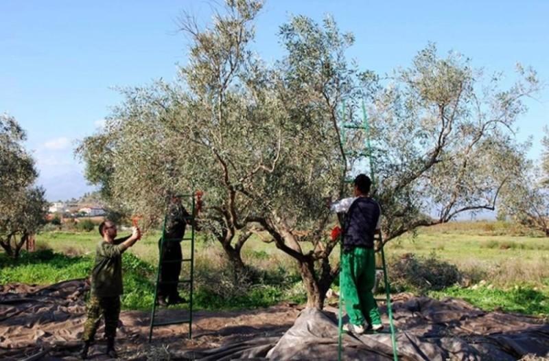 Κρήτη: Εργάτες μέσω Facebook ψάχνουν για τις ελιές!