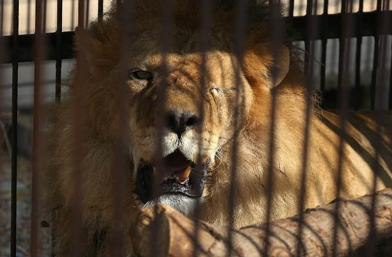 Λιοντάρι έσυρε μια 22χρονη και την αποτελείωσε. Ο λόγος θα σας αφήσει άφωνους!