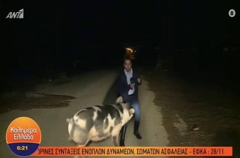 Απίστευτο περιστατικό: Γουρούνι επιτέθηκε και δάγκωσε δημοσιογράφο του Γιώργου Παπαδάκη
