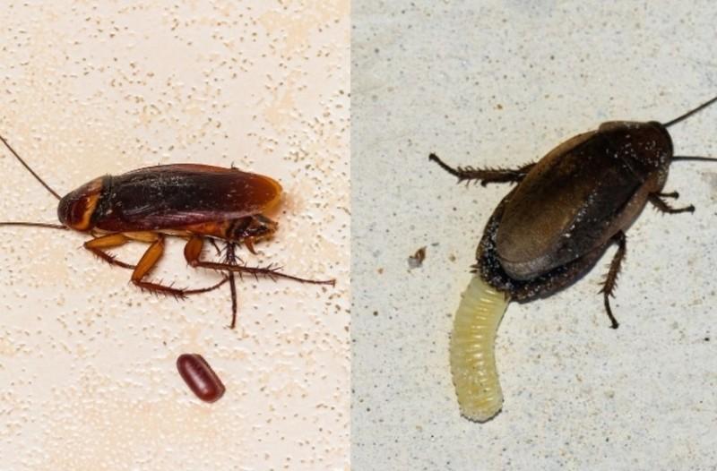 Κατσαρίδες: Βάλτε τέλος στα αυγά τους πριν γεννηθούν εκατοντάδες μέσα στο σπίτι σας!