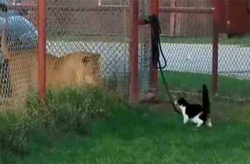 Λιοντάρι αντίκρισε γάτα μπροστά του. Η αντίδρασή του πάγωσε τους πάντες!