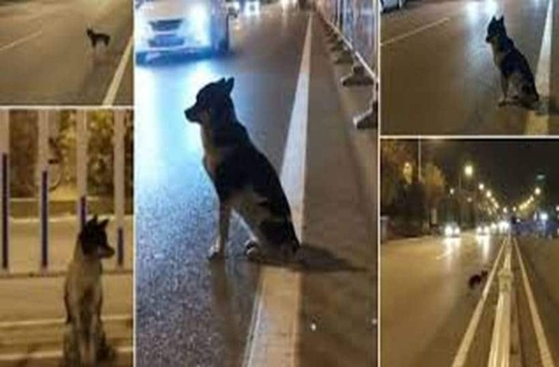 Ανατριχιαστικό: Σκύλος περιμένει εδώ και 80 μέρες στο σημείο που σκοτώθηκε το αφεντικό του